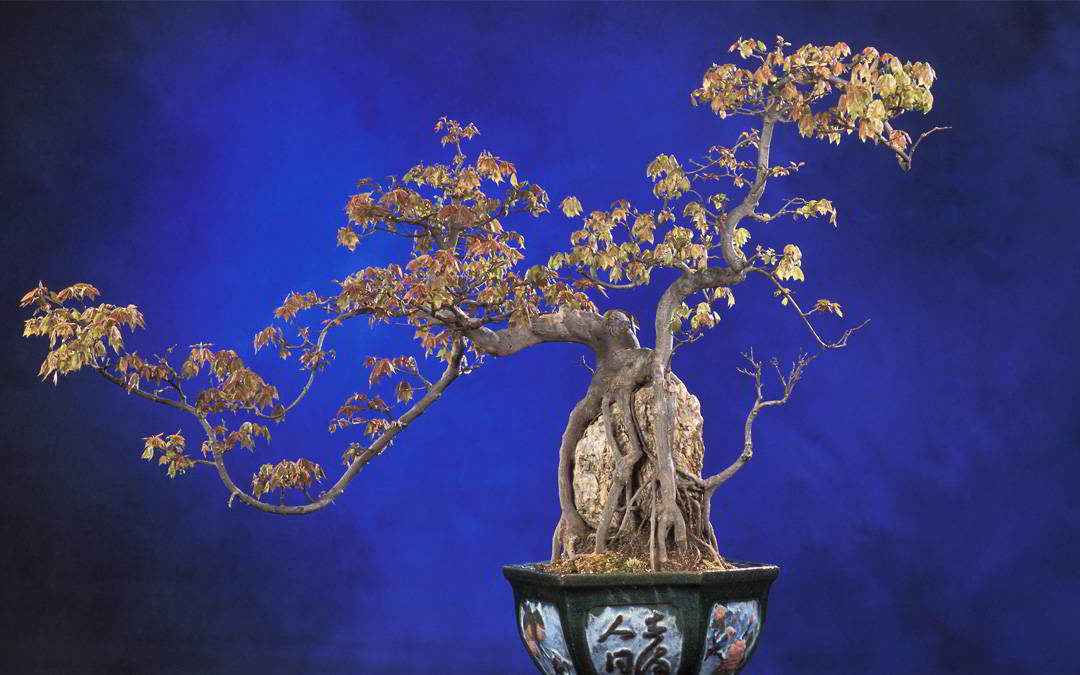 El bonsái Relato por Manuel Moreno